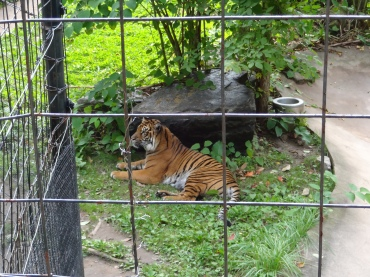 Tigers oh my